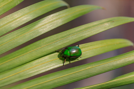 dof: Natural lighting photo of green cetonia beetle on palm leaf with shallow DOF view 1 Stock Photo