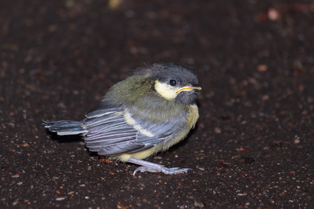 sitting on the ground: Tufted titmouse chick sitting alone on the ground view 1 Stock Photo