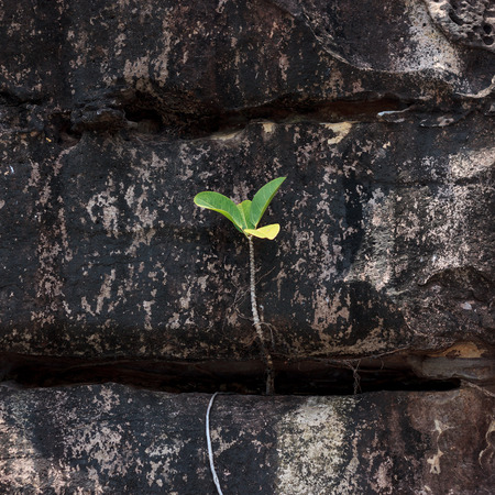 Small  sprout of troical tree groing in the rocks photo