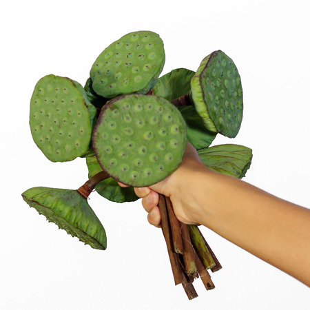 corbel: Female hand holding a bunch of lotus pods against white background view 2