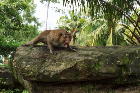 agression: Monkey in aggressive pose on a stone in jungle park