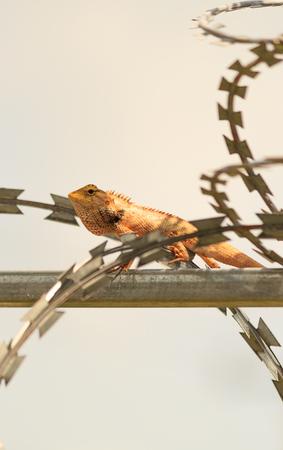 versicolor: tropical Garden Fence Lizard, Calotes versicolor, resting on a metal fence on sunny summer day Stock Photo