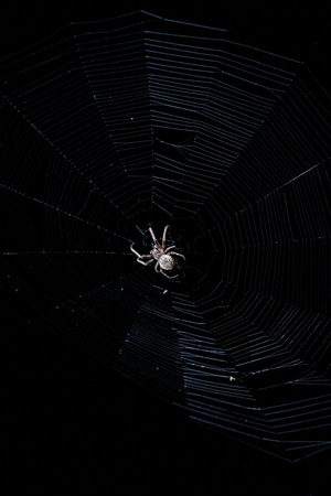 Contrast light image of big brown garden spider in center of his web with small insect prey at night on black background Stock Photo