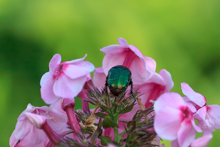 Large green scarab or rose chafer or Cetonia on phlox flowers, close up with selective focus, horizontal view
