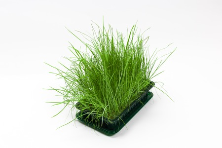 Bright green fresh grass sprouted in a plastic box on a white background. Horizontal view with copy space Reklamní fotografie