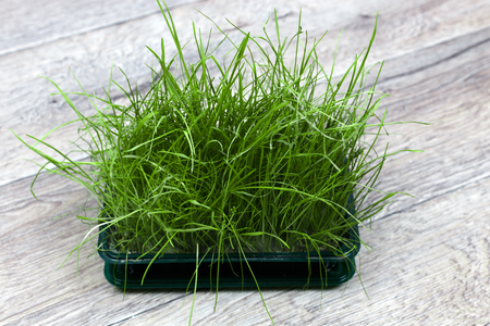 Bright green fresh grass sprouted in a plastic box on a wooden background. Horizontal view Reklamní fotografie