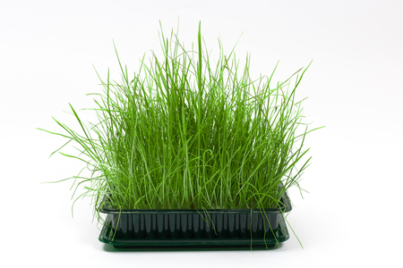 Bright green fresh grass sprouted in a plastic box on a white background. Horizontal front view with copy space