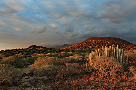 Canary endemic Spurge and Balsam spurge bushes at sunset