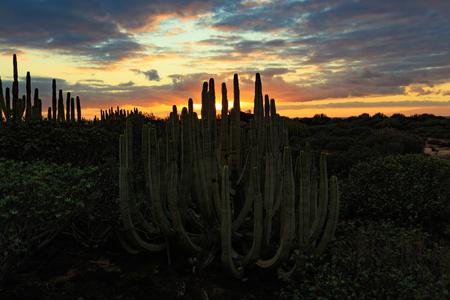 Canary Spurge endemic bushes at sunset Reklamní fotografie