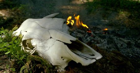 bull skull lies near green grass and small fire in forest 版權商用圖片