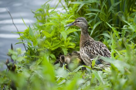 Duck family hiding in the green grass on the river Bank
