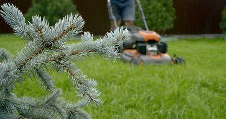 gardener pushes lawn mower on grass behind fir branches