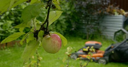 sporty man mows lush lawn with modern machine in house backyard and ripe red and green apple on foreground slow motion