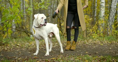 white bulldog is standing near his female owner in autumn forest in daytime Zdjęcie Seryjne
