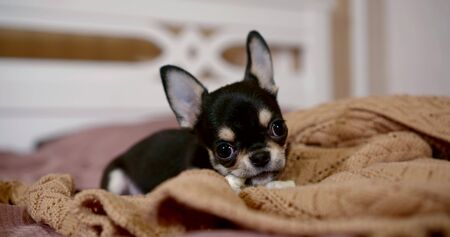 Close-up portrait of a miniature Chihuahua dog is on the bed on a soft blanket, scratching his teeth, nibbling a toy.