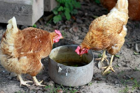Chicken searches for food in a bowl