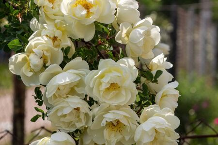 Beautiful rose bouquet close-up. Rosa spinosissima has blossomed on the site Banque d'images