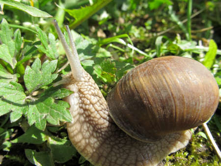 Cute grape snail with a large shell close-up crawling in the grass