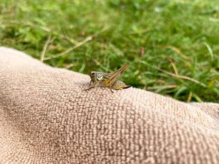 Green grasshopper or common grasshopper Tettigonia viridissima close up