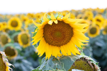 Beautiful yellow sunflower on a sunflower field close-up. Yellow sunflower with copyspace. Sunflower under a cloudy sky