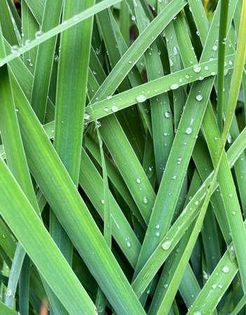 Background of blooming hemerocallis fulva grass close-up. Dew drops on the grass hemerocallis fulva Standard-Bild