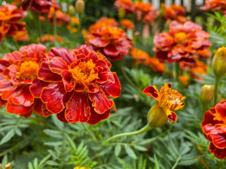 Background of beautiful flowers of Marigolds erect (Tagetes erecta). Red flowers of Tagetes erecta