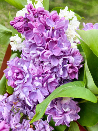 Beautiful bouquet of purple lilac Syringa vulgaris close-up Standard-Bild