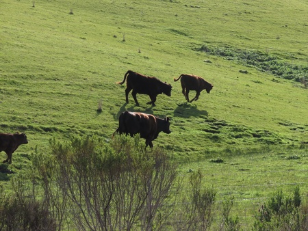Cows and calf trot on ridged green hill