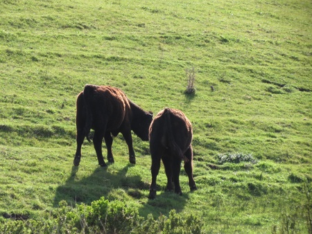 highlight: Two calves with red highlight on back from sunset light stand on lush green hill near Cambria, California  Stock Photo