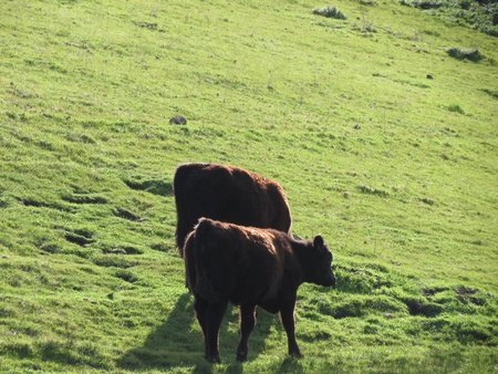 Two calves stand on a green slope in the lush pastures near the ocean in California s central coast, with their coats showing highlights from the red light of late afternoon