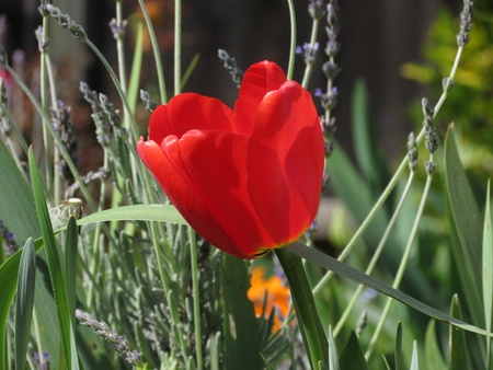 rembrandt: Red tulip with blue buds in background  Stock Photo