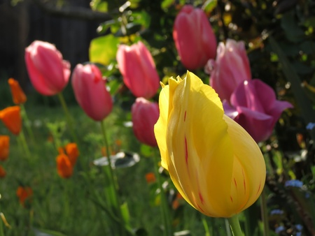 A yellow chiffon tulip at sunset in foreground with group of tulips and poppies out of focus in background  photo