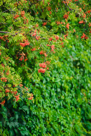 Branch of a ripe mountain ash in a summer garden. Sunny day.