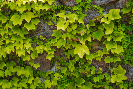 Wild-growing grapes on an old wall. A background with large green sheets of an ivy.