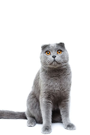 lop eared: Scottish Fold Gray lop-eared cat on a white background it is isolated. Stock Photo