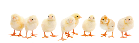 Panorama of brood little yellow chicks isolated on white background. Farm incubator chickens on walk.