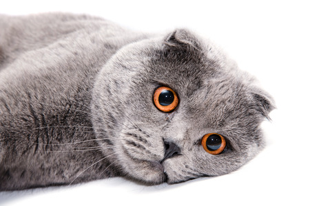 lop eared: Gray lop-dog lies on a white background isolated. Close up portrait cat