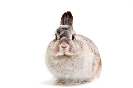 French Lop rabbit, Oryctolagus cuniculus, sitting in front of white background