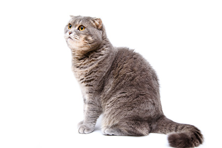 lop eared: Gray lop-eared cat on white background isolated. Close up portrait cat look to left side