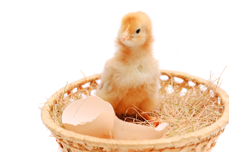 The little yellow chicken nests near an egg-shell. Stock Photo