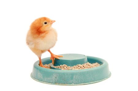 Little yellow chicken costs on a feeding trough. Newborn chicken isolated on white background.