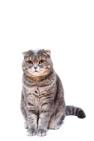 lop eared: Gray lop-eared cat on white background isolated. Close up portrait cat look to camera