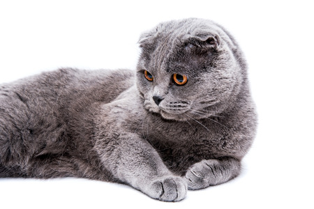 lop eared: Gray lop-eared cat on white background isolated Stock Photo