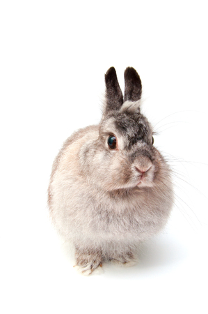 reproduction animal: French Lop rabbit, Oryctolagus cuniculus, sitting in front of white background