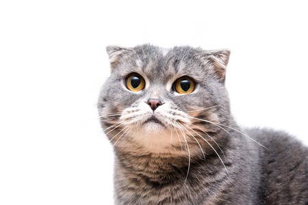 lop eared: Lop-eared scottish cat isolated on white background. Close up animal portrait. Domestic british funny pet. Stock Photo