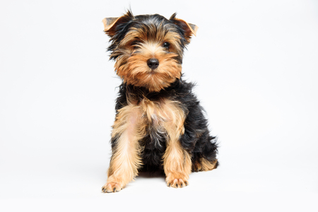 Beautiful yorkshire terrier puppy in studio on a white background
