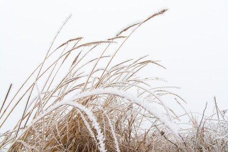 Stalks of grass in winter covered with frost and ice crystals in severe frost. Nature winter frost.