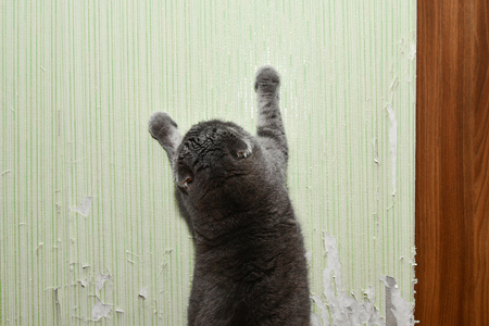 Cat tears wallpaper. Cat sharpens nails. Pet harms the home Stockfoto - 119055322