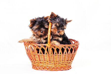 Two puppies Yorkshire are sitting in the basket. The background is white. The playful puppies play with each other.