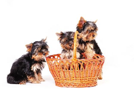 Three Yorkshire terrier puppy on a white background playing in a basket 版權商用圖片